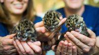 Anak kembar tiga macan dahan | Kebun Binatang & Akuarium Point Defiance/Halonusa