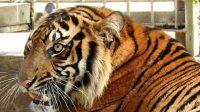 Harimau Sumatra, Corina, PR-HSD, Yayasan ARSARI, Semenanjung Kampar, Riau