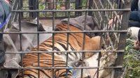 Petugas Badan Konservasi Alam Indonesia (BKSDA) mengevakuasi seekor harimau Sumatera (Panthera Tigris sumatrae) seberat 60 kilogram dengan panjang hingga 2 meter, setelah lima hari mengembara di kawasan pemukiman di Desa Rawang Gadang, Simpang Tanjuang Nan IV, Danau Kembar Kecamatan, Kabupaten Solok, Provinsi Sumatera Barat, 6 Desember 2020. | Tan/Halonusa