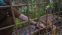 Seekor harimau Sumatera jantan sepanjang tiga meter tertangkap dalam perangkap berjarak 500 meter di perkebunan masyarakat di Jorong Lurah Ingu, Nagari Simpang Tanjuang Nan IV, Kecamatan Danau Kembar, Kabupaten Solok, Provinsi Sumatera Barat pada 7 Desember, 2020. @tanharimage/Halonusa
