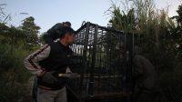 Tim BKSDA-Kinantan zoo-Sumatera Barat-Halonusa.com-Jerat-Perangkap-Kariadil Harefa