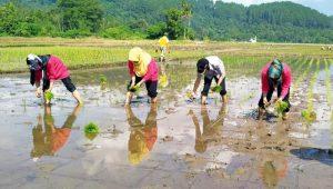 Pemerintah Kabupaten Pesisir Selatan, Sumatera Barat terus mendorong dan mempertahankan pola tanam serentak bagi para petani, sebagai upaya meminimalisir serangan hama padi, Selasa (11/5/2021).