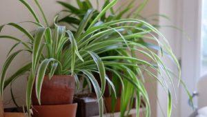 Lili Paris (Spider Plant)