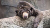 Salah stau bentuk beruang. (Foto: Dok. Pixabay)