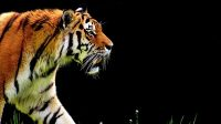 Ilustrasi harimau. (Foto: Dok. Pixabay)